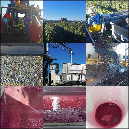 Concord Grape Harvest and Juice Production